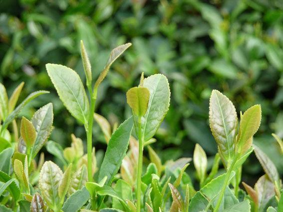 日照绿茶属于什么档次