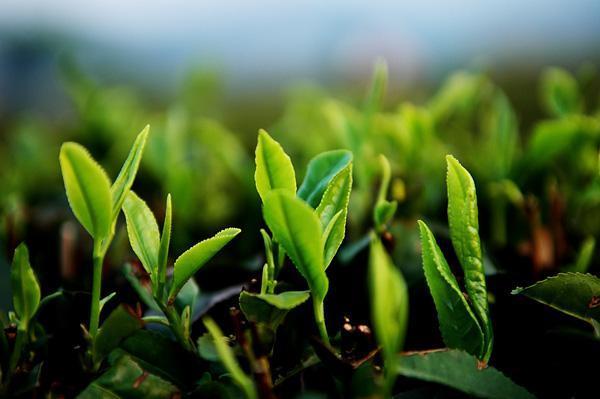 日照绿茶秋茶怎么样