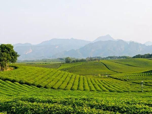 中国北方绿茶之乡