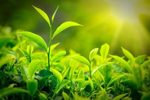 日照绿茶的功效与作用