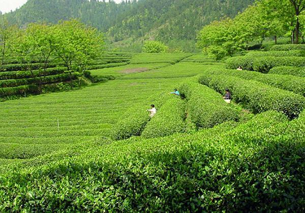 浮来青绿茶