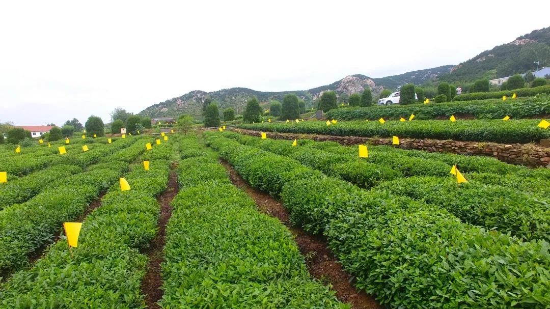 日照绿茶春茶什么时候最好喝