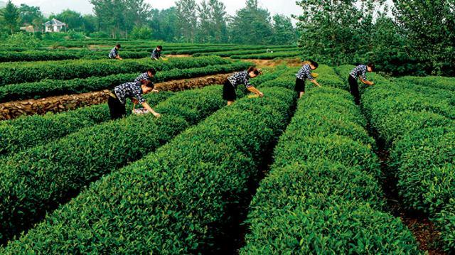 最北的日照绿茶怎么样?